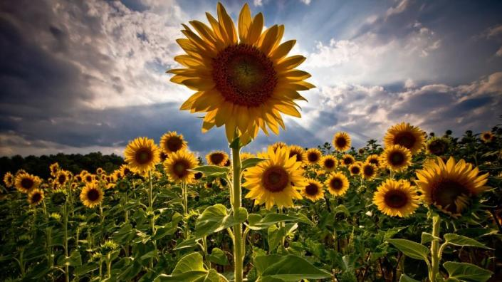 sunflowers-with-sunrise-hd-nature-view-wallpapers